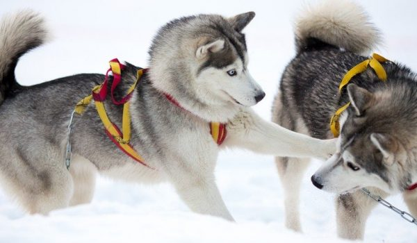 Grabbing life by the….sled dogs?